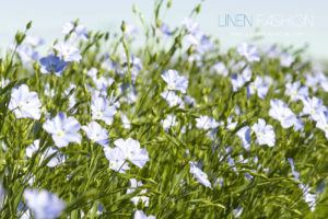 Linen Fashion Blooming Flax Flowers